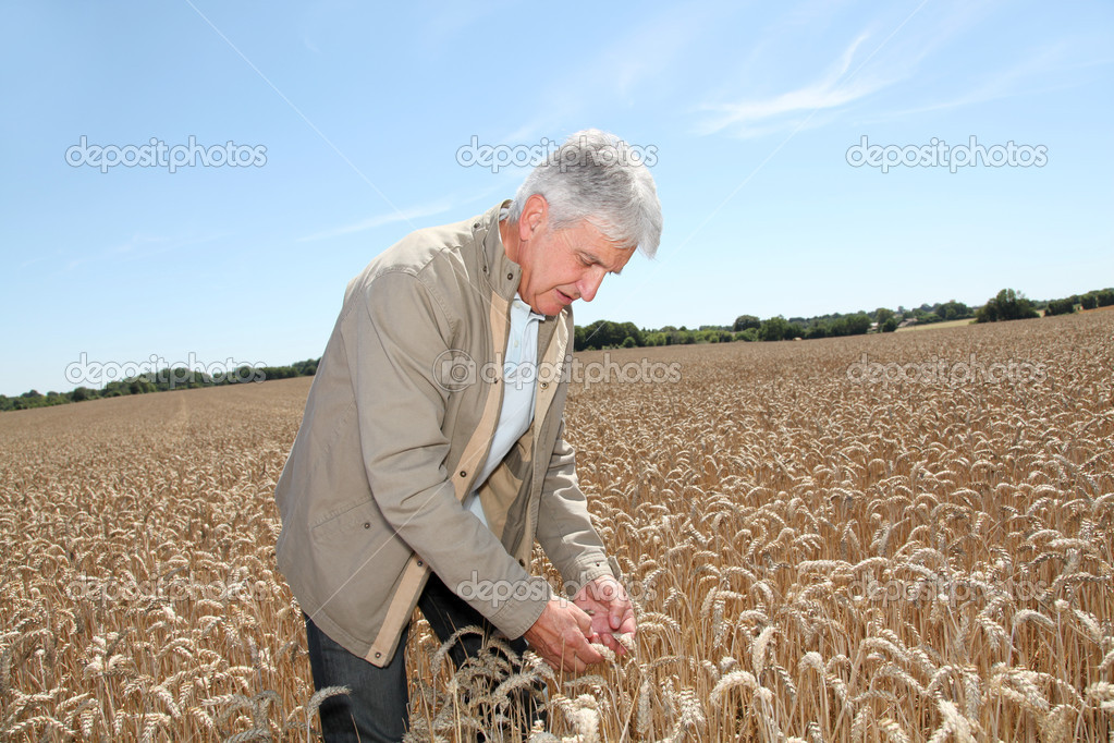 Agronomist working in wheat field