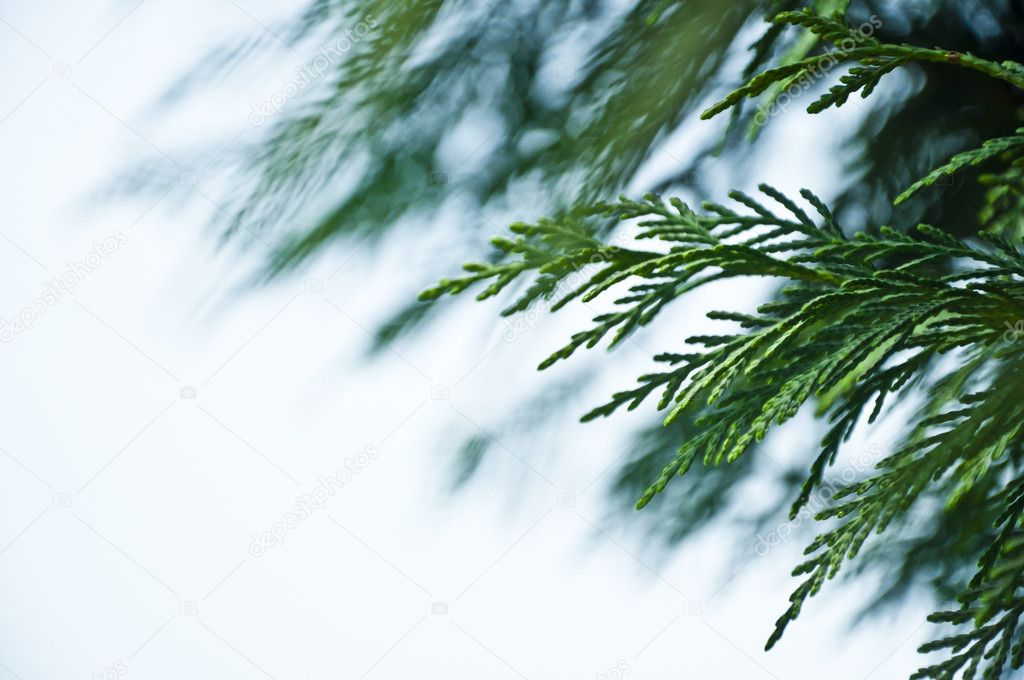 Green Cypress Leaves Background