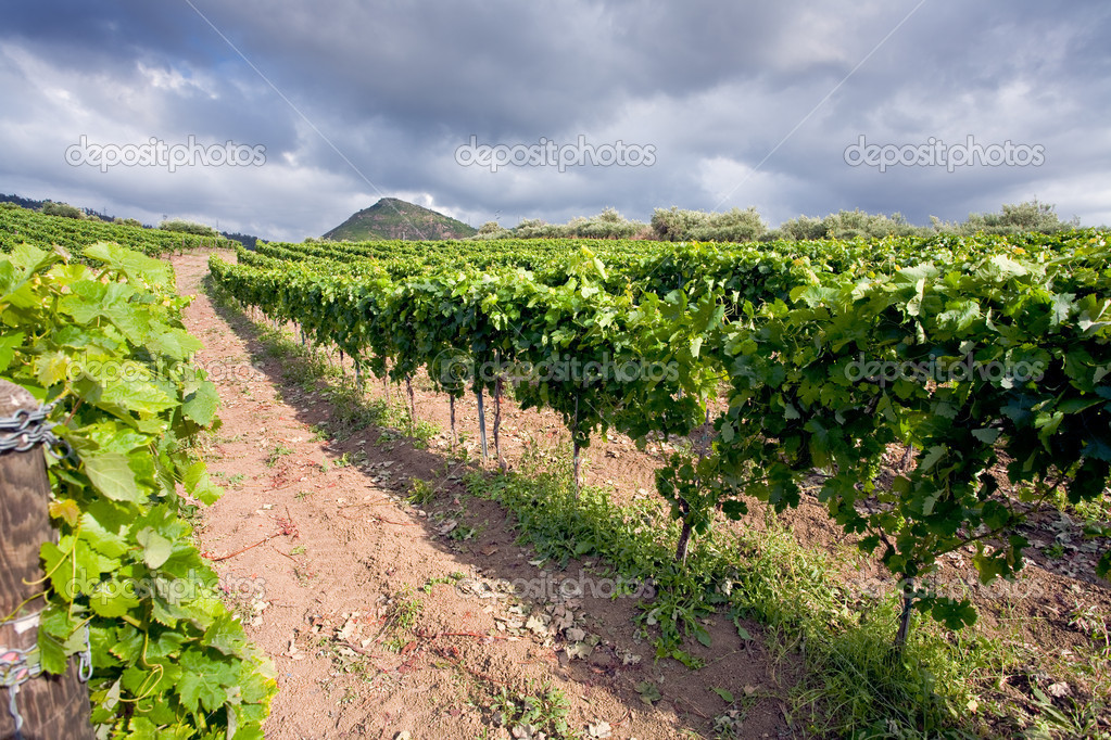 Vineyard on gentle slope in Etna region, Sicily