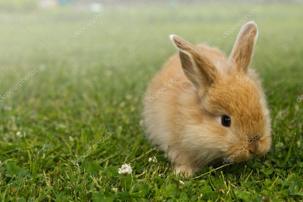 Baby gold rabbit in grass