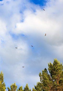 Flock of hawks