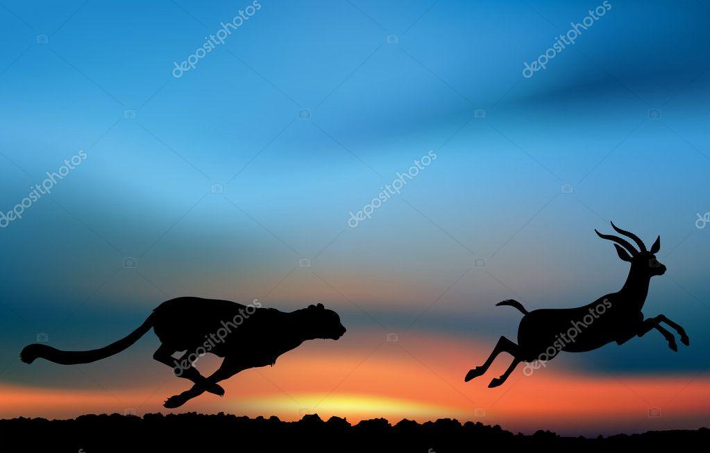 Cheetah is hunting an antelope