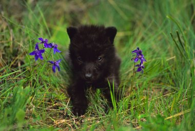 Black Wolf Pup in Flowers