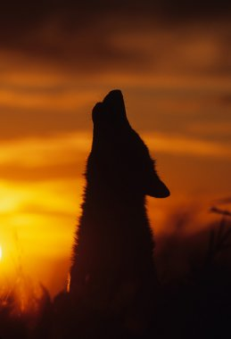 Howling Wolf in Sunset