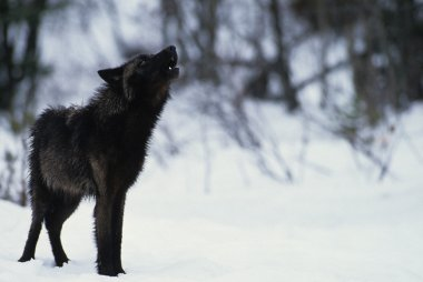 Howling Wolf in Winter