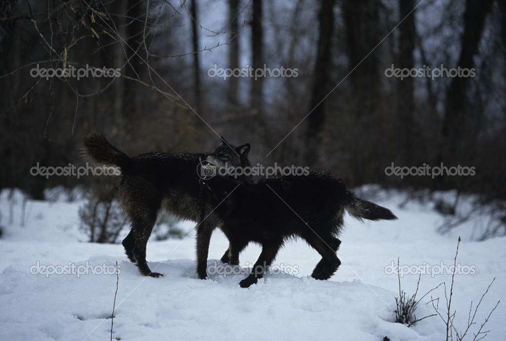 Wolves Playing in Snow