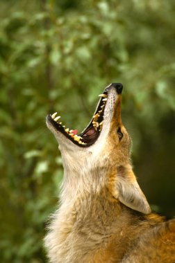 Coyote Portrait Howling