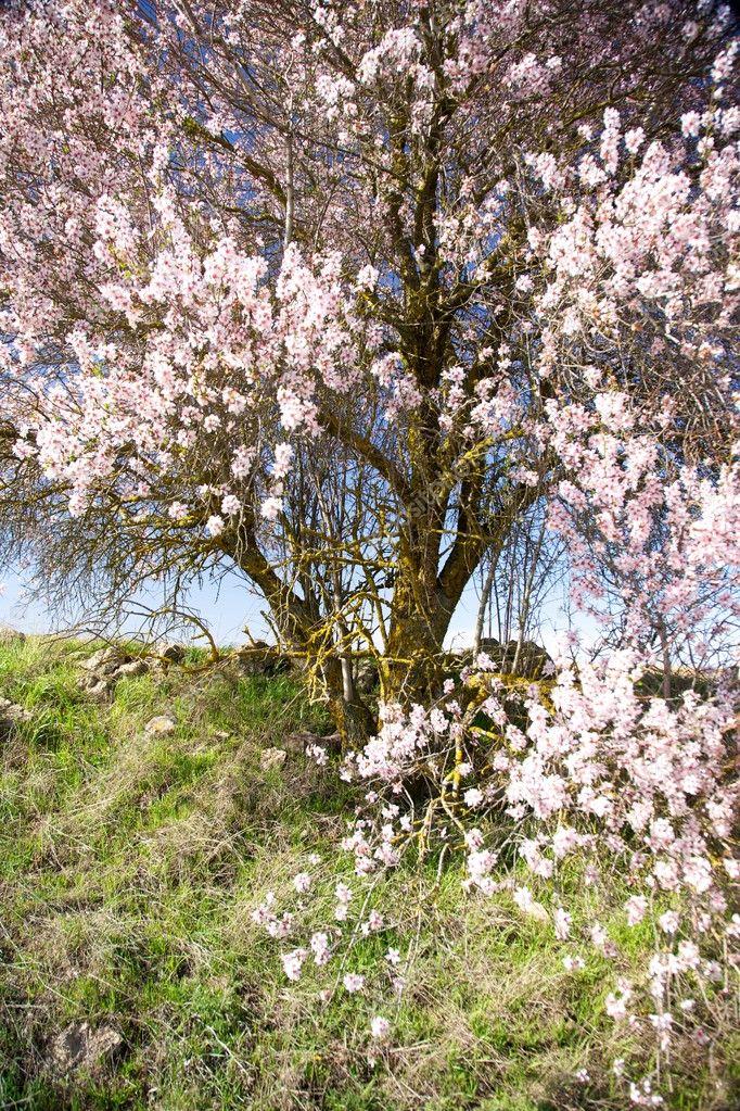 weiße und rosa Blüten-Baum — Stockfoto © quintanilla #6742387
