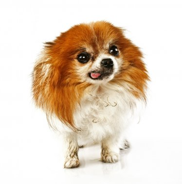 Funny looking dog with tongue hanging out