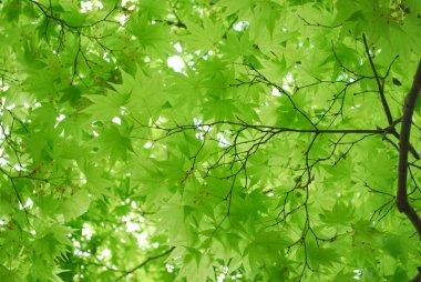 Fresh green in a Japanese zen garden