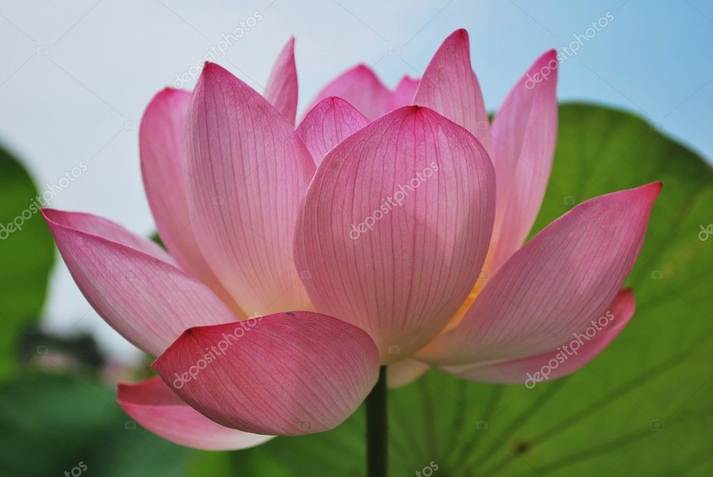 Lotus flower in full bloom stock photo gnohz 5845211 lotus flower in full bloom symbolizing religion buddhism purity serenity zen the summer season buddha enlightenment bliss joy and other abstract mightylinksfo