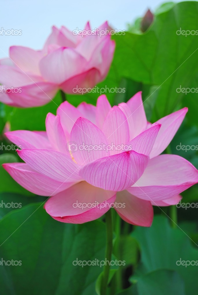 Lotus flower in full bloom stock photo gnohz 5856613 lotus flower in full bloom symbolizing religion buddhism purity serenity zen the summer season buddha enlightenment bliss joy and other abstract mightylinksfo