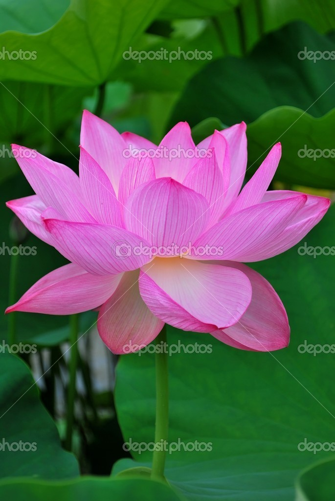 Lotus flower in full bloom stock photo gnohz 5856615 lotus flower in full bloom symbolizing religion buddhism purity serenity zen the summer season buddha enlightenment bliss joy and other abstract mightylinksfo