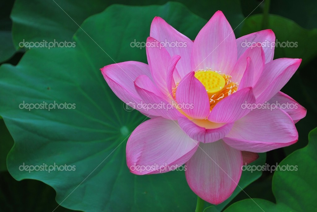 Lotus flower in full bloom stock photo gnohz 5856618 lotus flower in full bloom symbolizing religion buddhism purity serenity zen the summer season buddha enlightenment bliss joy and other abstract mightylinksfo