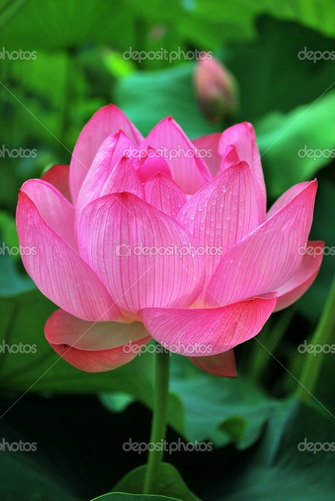 Pink lotus flower stock photo gnohz 5856630 pretty red lotus flower in bloom symbolizing religion buddhism and other religious concepts photo by gnohz mightylinksfo