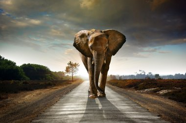 Single elephant walking in a road with the Sun from behind stock vector