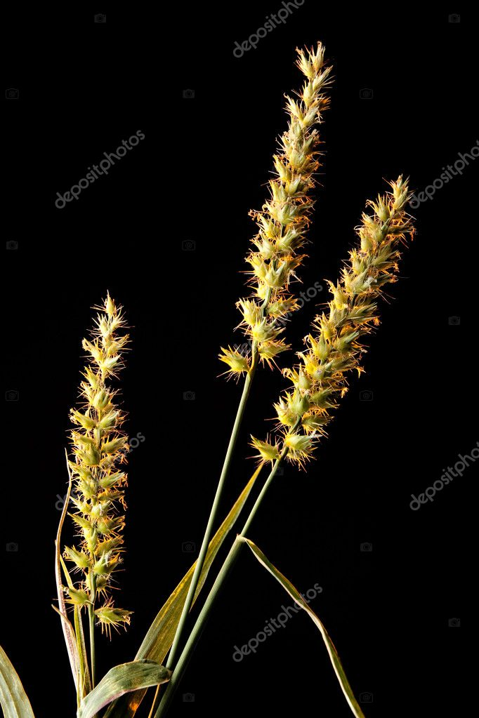 Grass or Sand Burrs Isolated on Black — Stock Photo © mkm3 #5884616