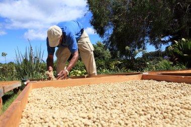Farmer drying coffee beans in the sun