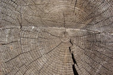Old pine texture