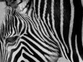 Zebra portrét