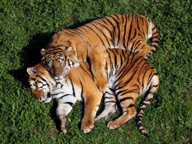 "Картина, постер, плакат, фотообои ""пара тигров "", артикул 5961879"