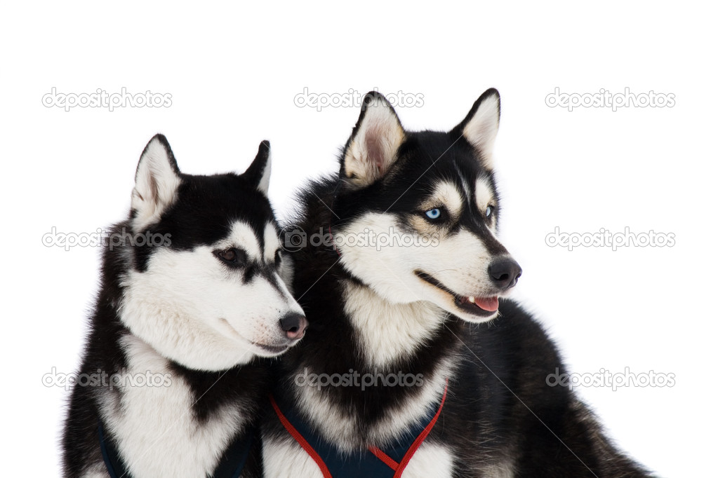 Two husky dogs