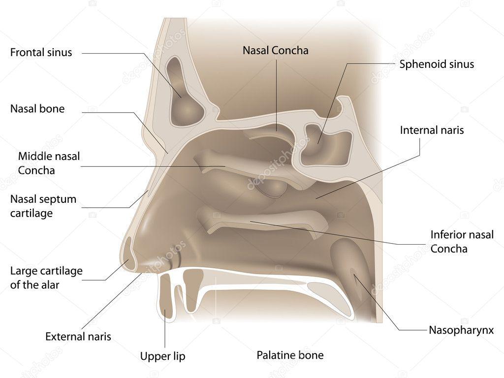 Nose anatomy — Stock Vector © kovacevic #5885104