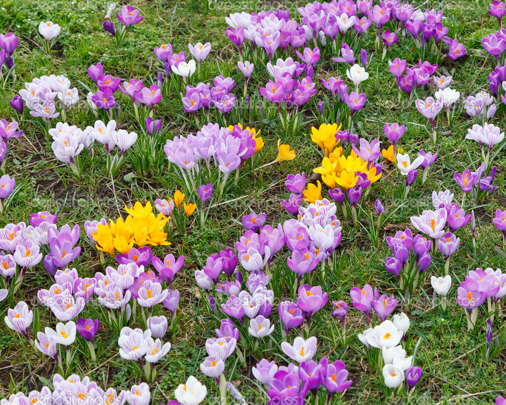 Wild Yellow Purple And White Crocus Flowers Stock Photo