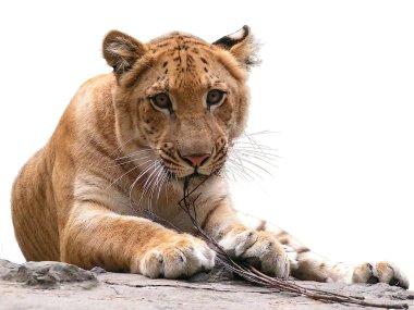 Look of tiger