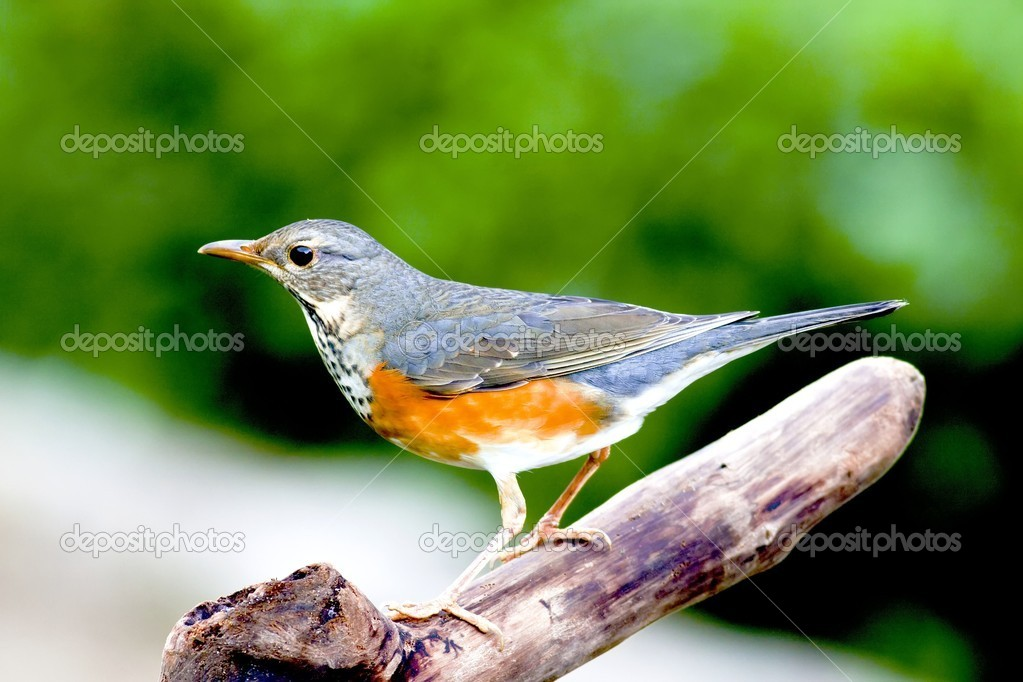 Grey-backed Thrush a bird