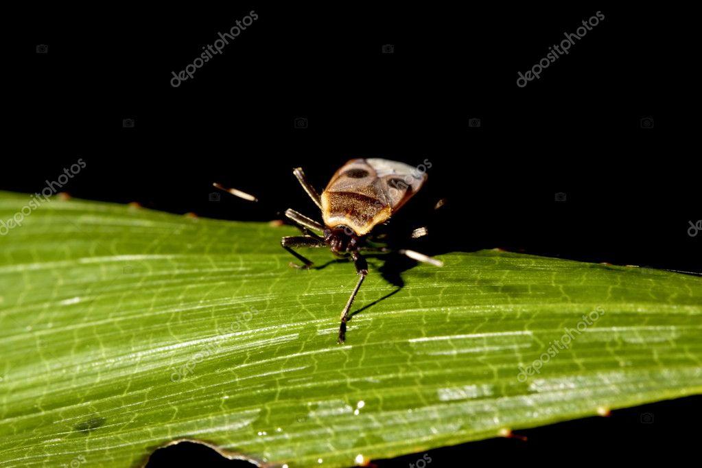 Pentatomomorpha a bug