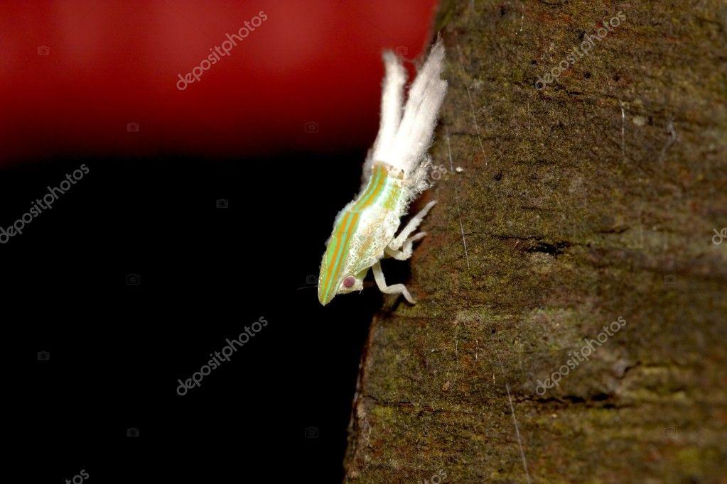 Cicada Nymphae