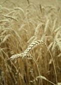 třídy pšeničného zrna