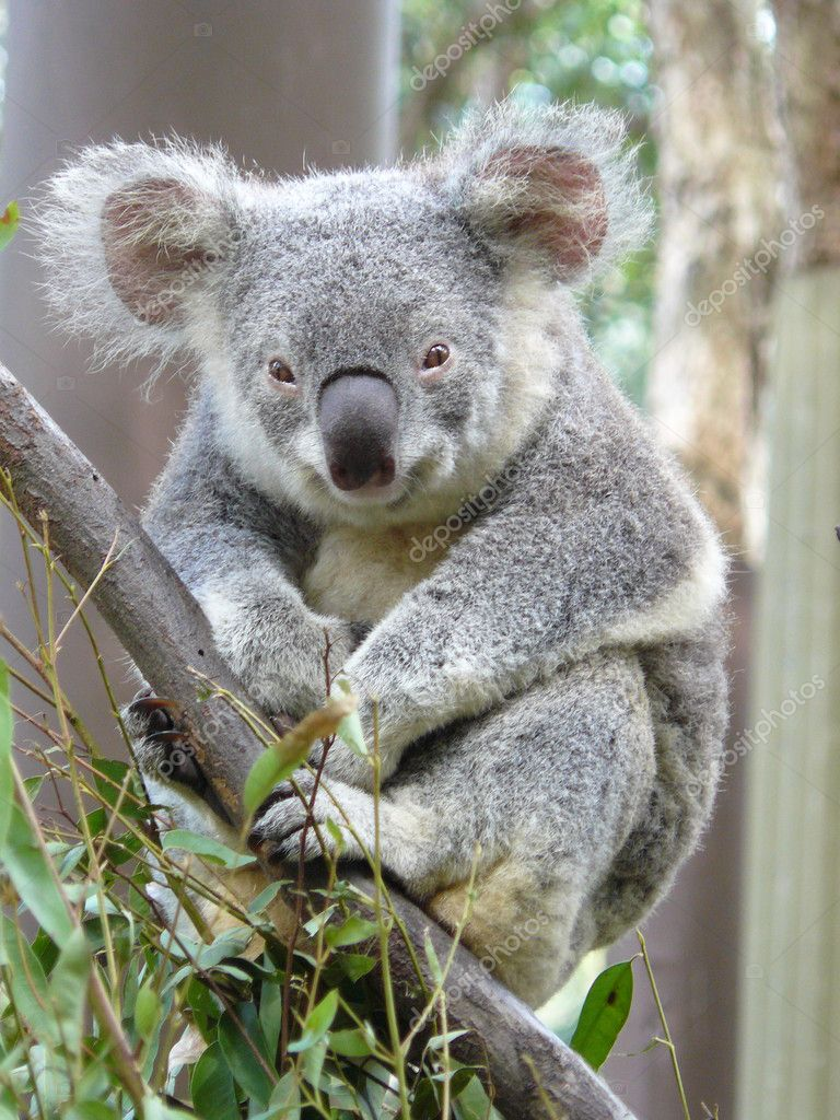Áˆ Koalas Stock Pictures Royalty Free Koala Images Download On Depositphotos
