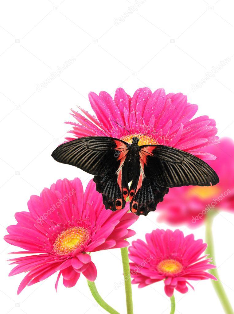 Герберские цветы с бабочками — Стоковое фото © jag_cz #6018666