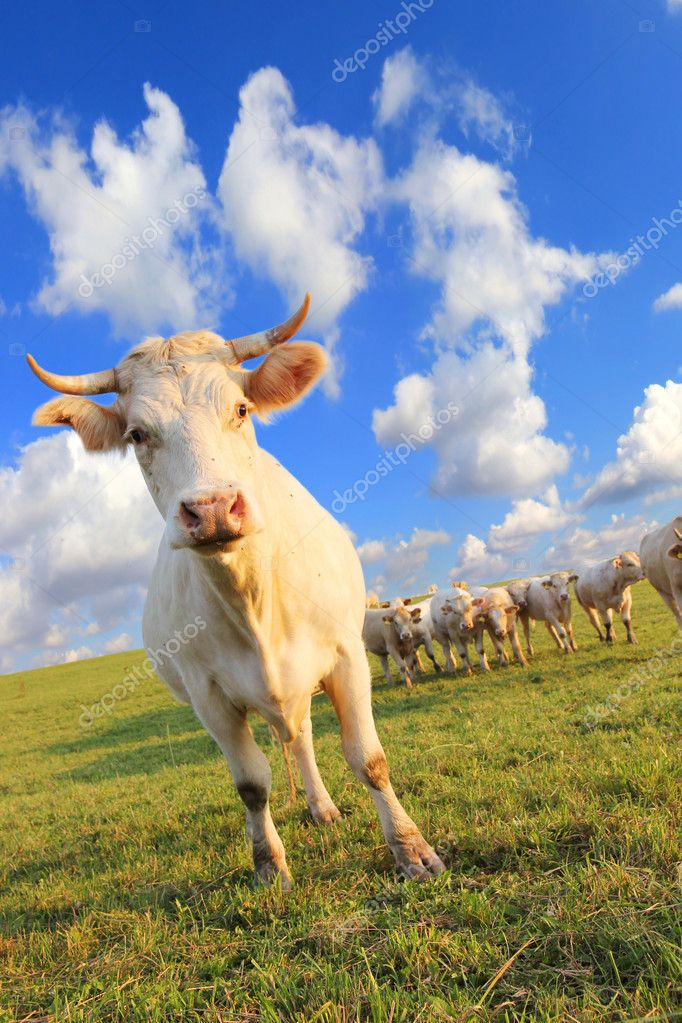Cow herds