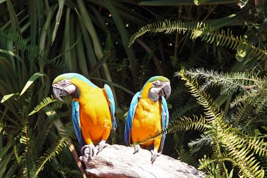 Chest yellow macaws