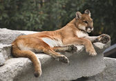 Fotografie American Cougar Mountain Lion