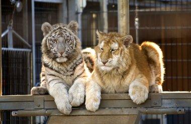 Rare Bengal Tiger Cubs