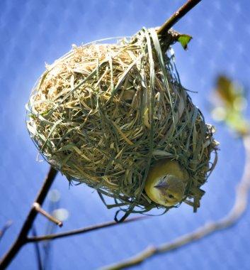 Bird in Nest Looking Down