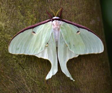 Luna Moth Close Up