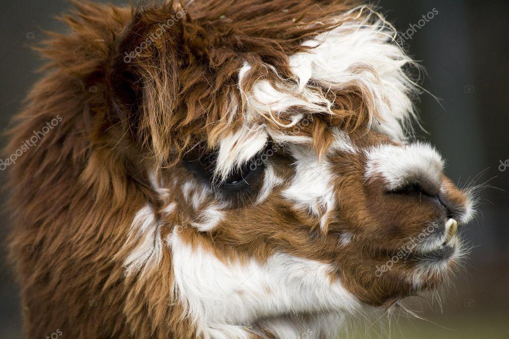 Calico Llama Alpaca face Close Up — Stock Photo © billperry #6077710