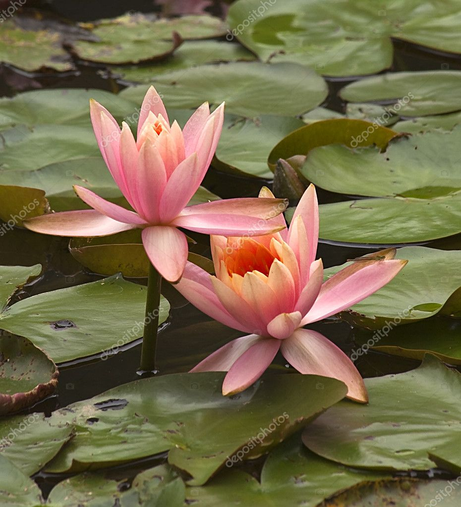 Pink Water Lily with Dragon Fly