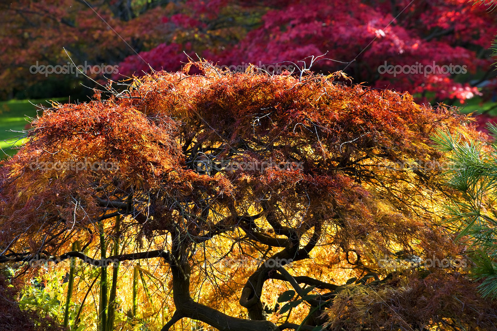 Japanese Maple Red Leaves Fall Colors Van Dusen Gardens