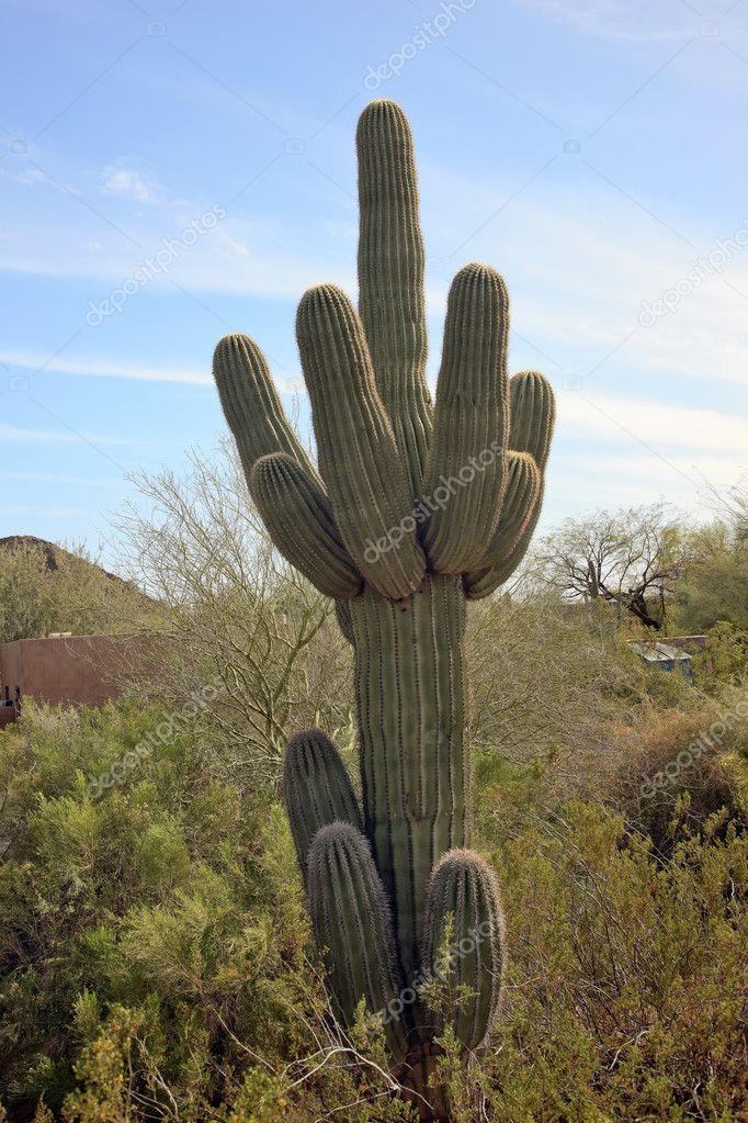 Saguaro Cactus Desert Botanical Garden Phoenix Arizona U2014 Stock Photo