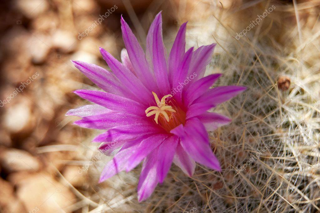 Rosa Cactus Flower Sonoran Desert Phoenix Arizona Stockfoto