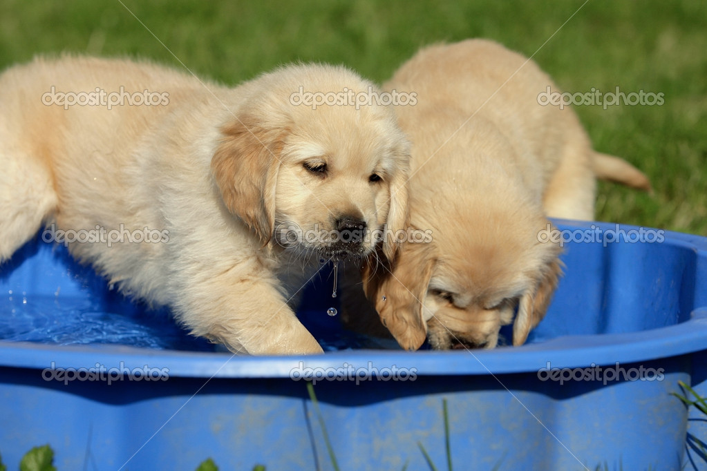 Golden Retriever Welpen Stock Photo C Djakob 6116955