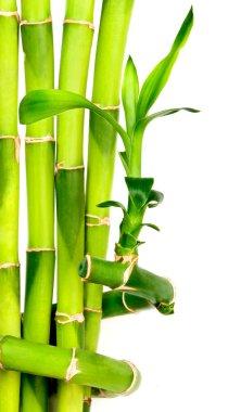 Bamboo background isolated on white