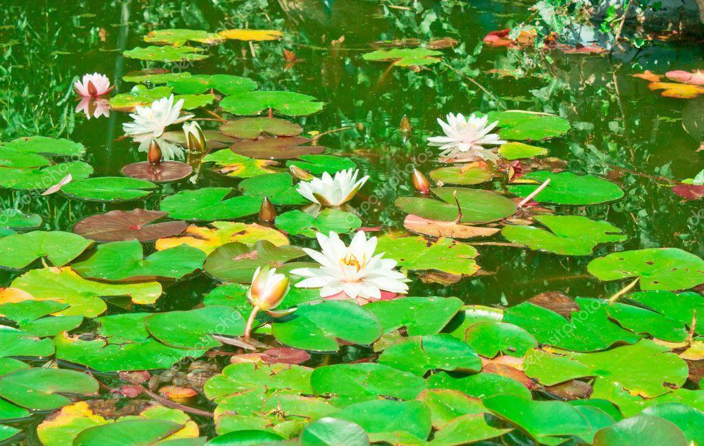 Afbeeldingen Waterlelies