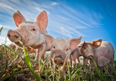 Three small pigs standing on a pigfarm